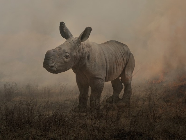 Alan, White Rhinoceros - One day old